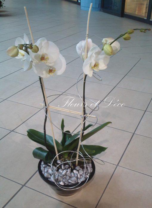 Plante d'orchidée: phalaenopsis